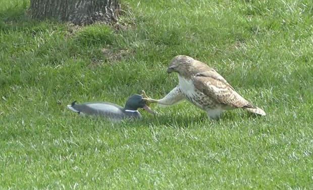 Ястреб недоумевает, почему утка не реагирует на него