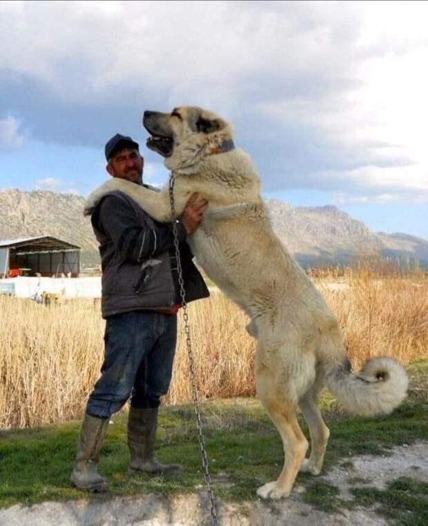 Турецкий кангал был оставлен на дороге, так-как его хозяева уехали. Мужчина подобрал щенка, который вырос выше его ростом