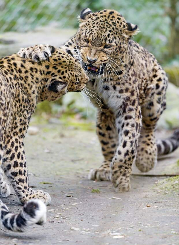 Бои животных. (Tambako The Jaguar)