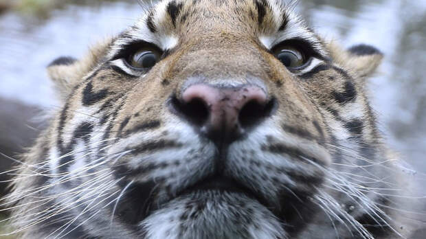 Тигриное селфи