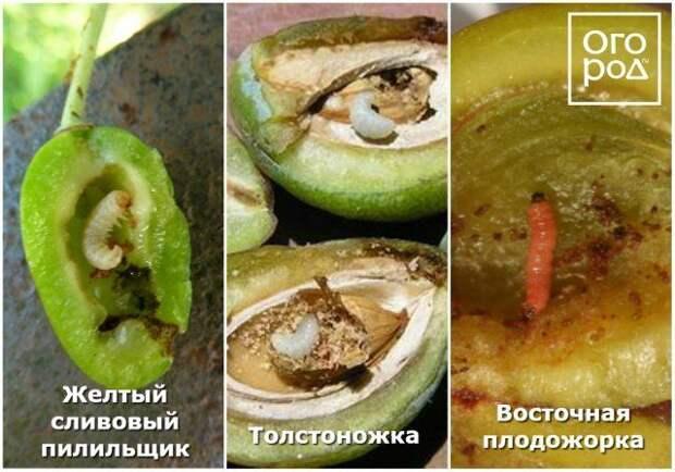 желтый сливовый пилильщик, восточная плодожорка, толстоножка.