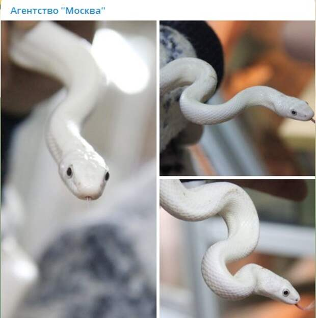 Белая голубоглазая змея повергла в шок жителей Митина