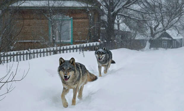 Волки хозяйничают в чернобыльской зоне отчуждения: видео с камер