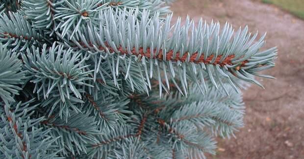 Нанотрубки из воска придают елям голубой оттенок