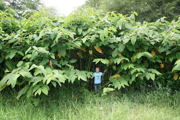 Горец достигающий гигантских размеров. Фото: из открытых Интернет-источников