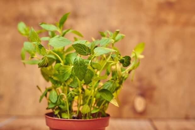 Какие овощи пересадить в горшок на зиму, чтобы продолжить сбор урожая