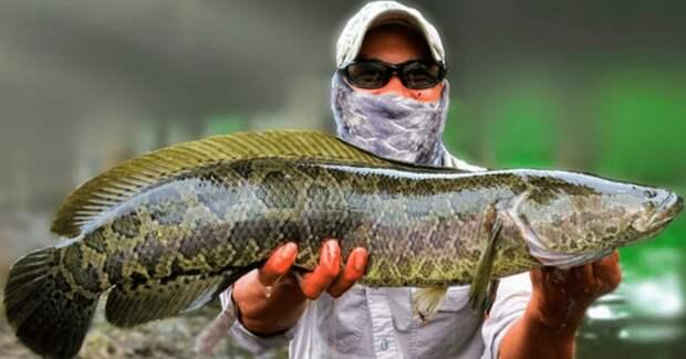 Мечта рыбака и ужас эколога: рыба-терминатор змееголов захватывает водоемы США