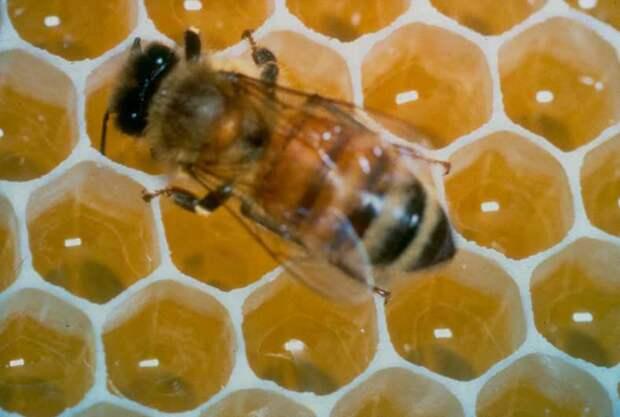 Секреты пчелиного меда