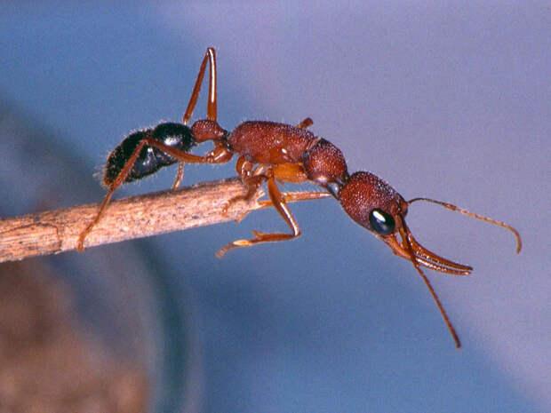 Индийские прыгающие муравьи: Смерть матки приводит к кровопролитной гражданской войне. Как происходит бойня внутри муравейника?
