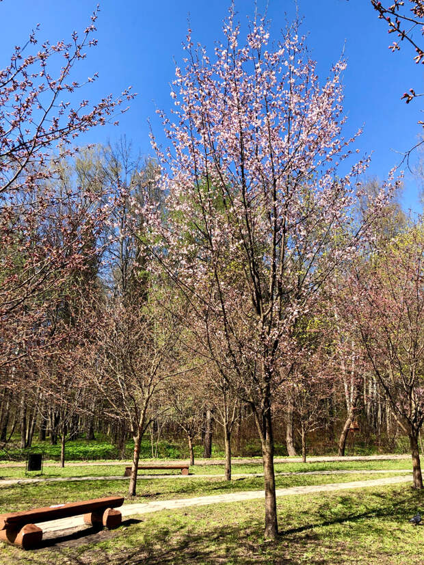 Май - созерцай. Где смотреть цветение сакуры в Москве.