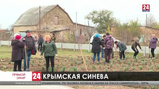 В Нижнегорском районе высадили пять тысяч кустов лаванды