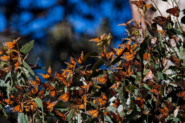 Миграция данаиды монарха. Ежегодно эта бабочка преодолевает огромные расстояния. В августе она покидает Северную Америку и направляется в Мексику — те особи, которые обитают севернее, начинают свой путь ещё весной. Стоит отметить, что продолжительность миграции длится практически всю их жизнь. Доживают до пункта назначения только те бабочки, которые успевают вступить в репродуктивную фазу. Тогда их жизнь длится не два, а семь месяцев. Интересно, что каждое следующее поколение в весенний период возвращается на родину своих предков, где сами они никогда не были. (Johanna Madjedi)