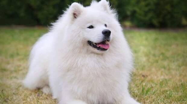 Приведя к грумеру самоеда, хозяйка с трудом узнала в обритой собаке своего любимца
