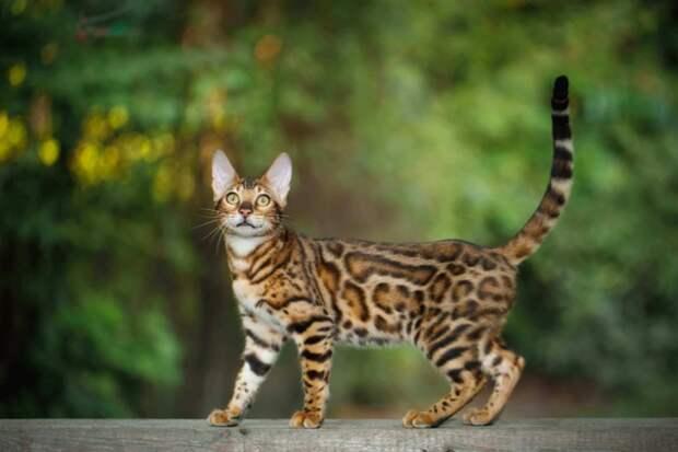 Самые опасные кошки в мире. Топ-10