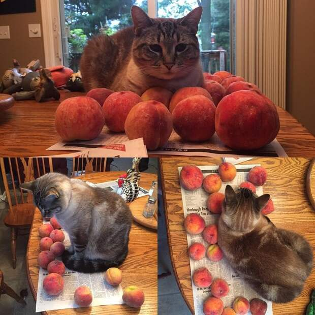 кот рядом с персиками