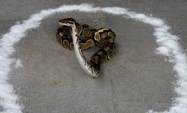 Что будет если окружить змею солью: проверяем миф лесников