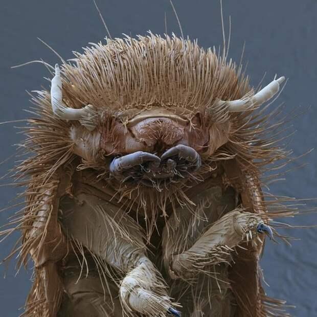 Личинка коврового жука. Может лучше выкинуть этот ковер?