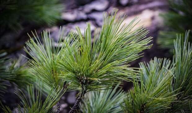 五月在符拉迪沃斯托克种植1万雪松
