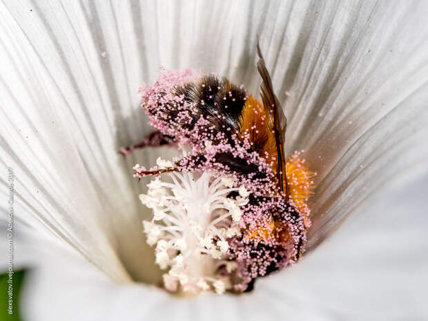 Как шмели в цветах купаются