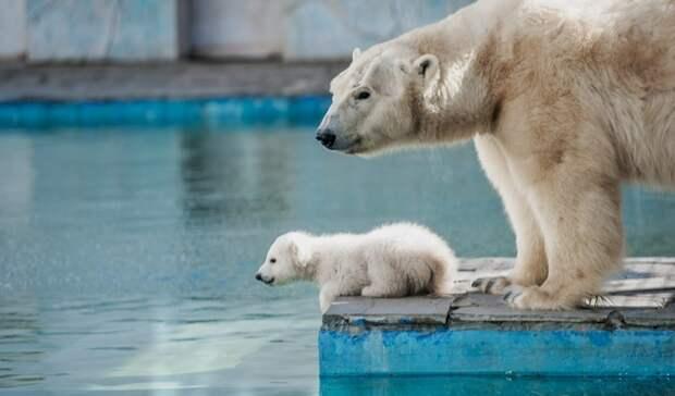 Четыре месяца исполнилось белому медвежонку изростовского зоопарка