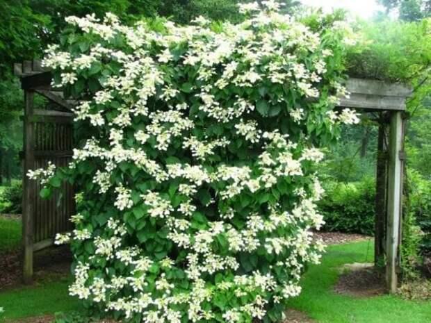 Красивые вьющиеся растения для пергол и беседок