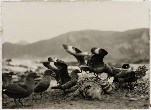 Первая Австралийская антарктическая экспедиция в фотографиях Фрэнка Хёрли 1911-1914 37