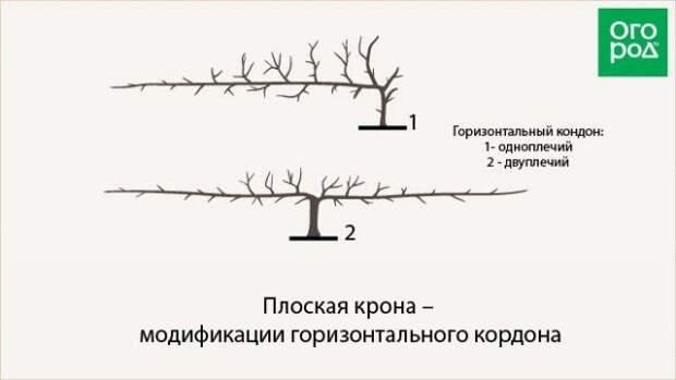 плоская крона - модификации горизонтального кордона