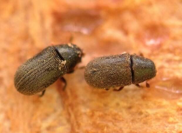 Обнаруженный в Удмуртии новый вид вредителя лесов «перебрался» в Малую Пургу