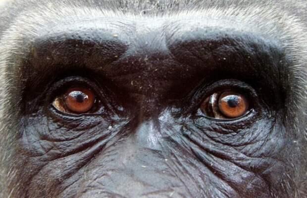 Почему у всех обезьян глаза карего цвета?
