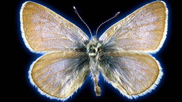 Бабочка, ставшая символом вымирания насекомых, оказалась отдельным видом