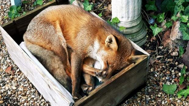 Женщина и дикая лисичка - история невероятной дружбы дикая природа, дикие животные, дружба, история, история дружбы, лиса, мило