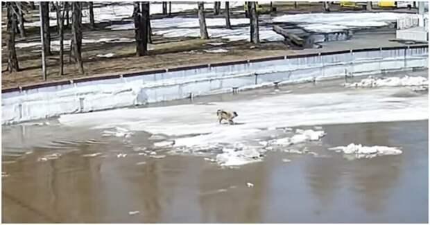 Школьники спасли уплывавшую на льдине собаку