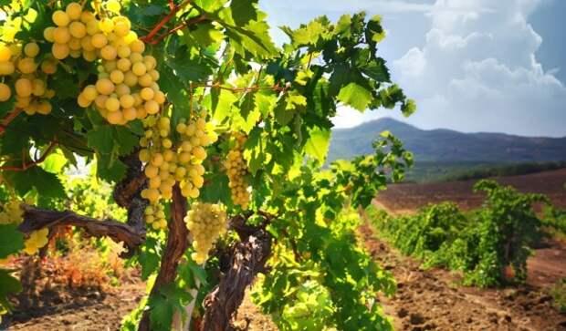 В Севастополе выделят 150 миллионов рублей на обновление виноградников