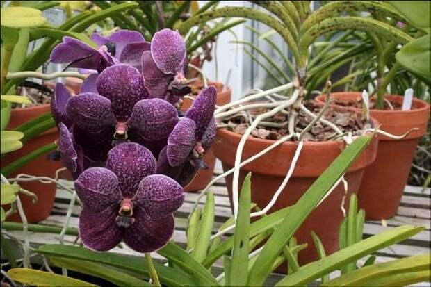 Встречается около 50 видов рода орхидея Ванда