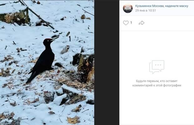 Фото дня: дятел-гигант из Кузьминского леса