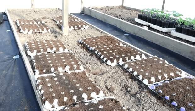 Морковь без прореживания: гарантированный урожай при минимуме ухода