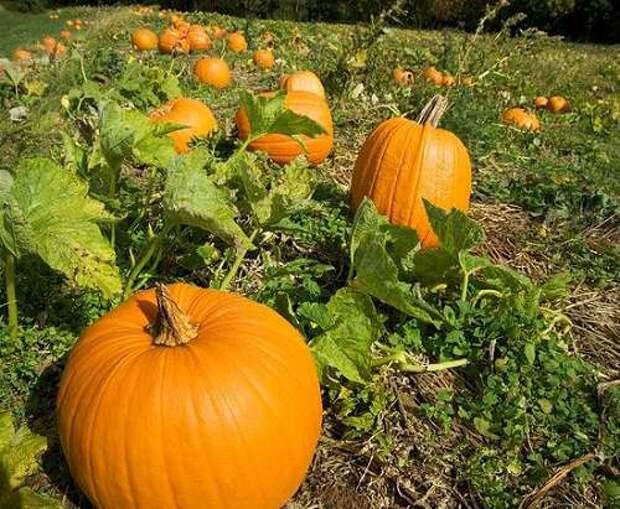 сентябрьские заботы огородника