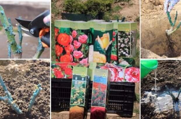 Как выращивать розы в тени и полутени