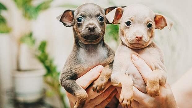 Не только йорки: 5 мелких пород собак для легкого содержания в квартире (и одна – для нелегкого)