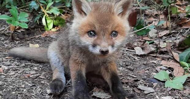 Трогательная история спасения: лисица вернулась за своим малышом