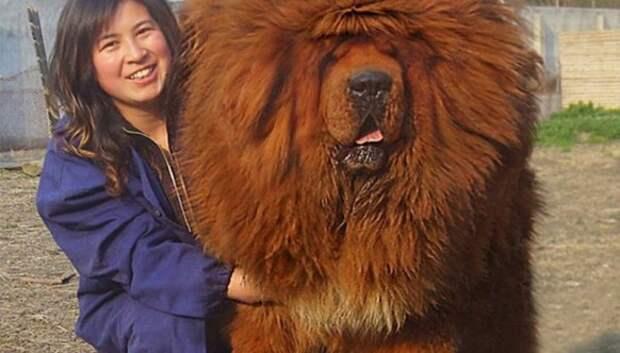 20 больших собак, которые понятия не имеют, насколько огромны
