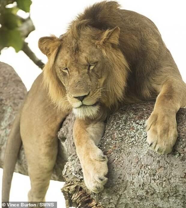 Необычные львы Уганды, которые любят спать на деревьях