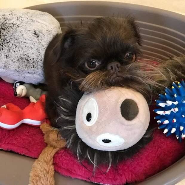 Этому милому псу по кличке Натс около двух лет Натс, борода, животные, милота, собака