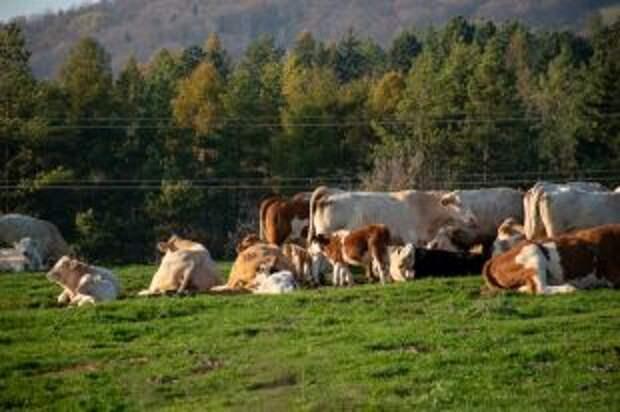 Подорожает ли молоко из-за нехватки кормов?
