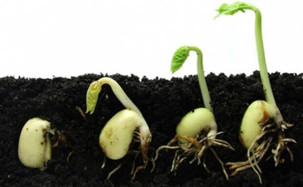 Отбор и подготовка семян к посадке