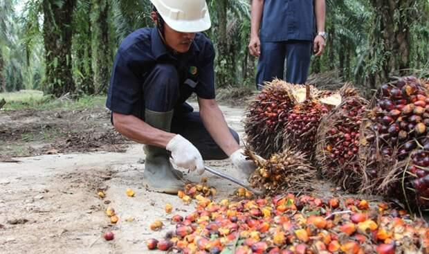 Госдума идёт в наступление на пальмовое масло