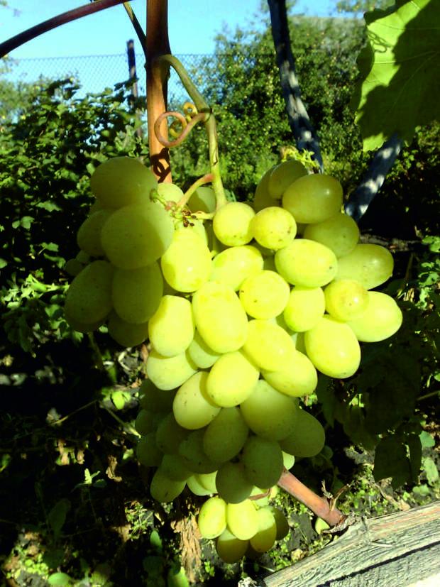 «Кто сказал, что виноград растет только на юге? у меня в Пензе отлично растет!»