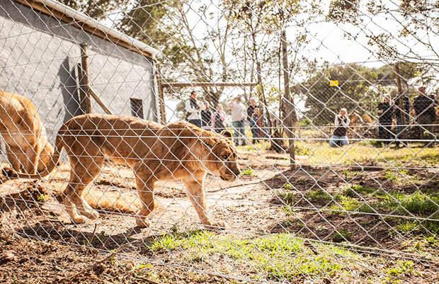 Львицам сделали большой вольер с разнообразным ландшафтом.