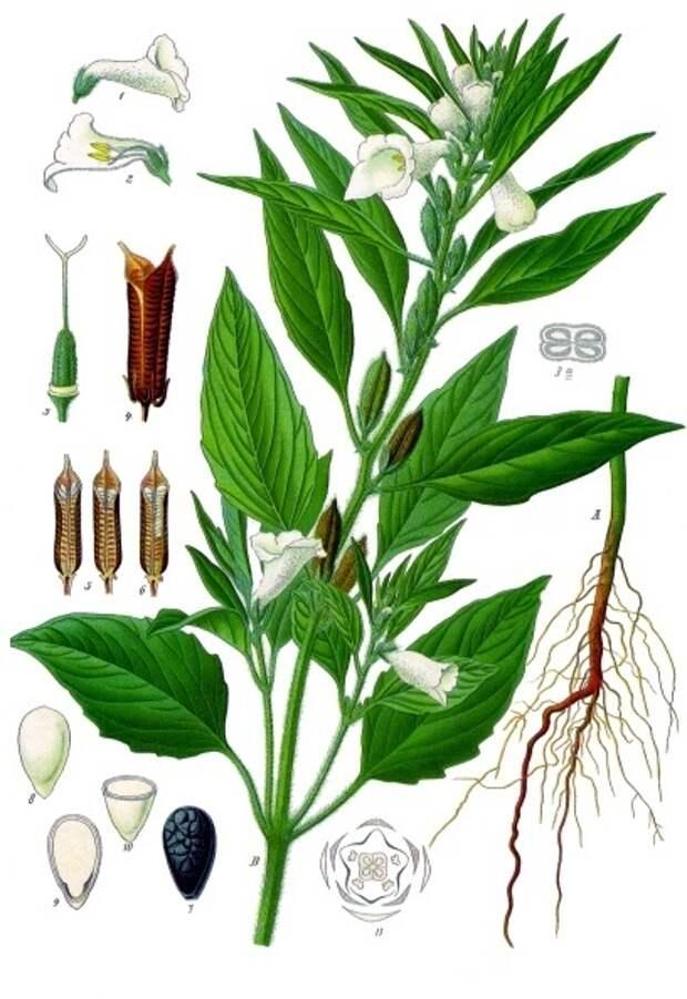 Кунжут индийский. Ботаническая иллюстрация из книги Köhler's Medizinal-Pflanzen, 1887 г.