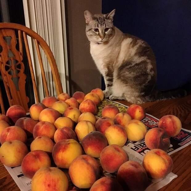 кот сидит рядом с персиками